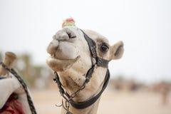 Camelo no Sharm el Sheikh, Egito do focinho Animal no deserto fotos de stock royalty free
