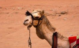 Camelo no Tesouraria Fotos de Stock Royalty Free