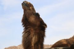 camelo próximo acima da fúria da cara que olha ao céu fotografia de stock