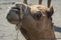 Camelo que é atento Fotos de Stock