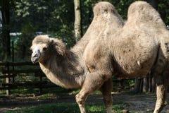 Camelo que anda através de um jardim zoológico fotos de stock