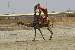 Camelo que anda na praia Fotografia de Stock