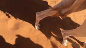 Camelo que anda no deserto de Taghit, pés do movimento lento do camelo Bechar de passeio, Argélia vídeos de arquivo