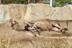 Camelo que encontra-se para baixo na sujeira fotos de stock royalty free