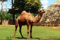 Camelo que está no jardim Fotografia de Stock Royalty Free