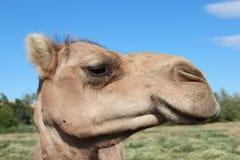 Camelo que eyeing o Imagem de Stock Royalty Free