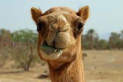 Camelo que mastiga no ramo do espinho Fotografia de Stock