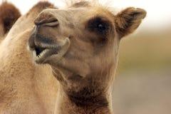 Camelo que olha o olho para eye com você Fotos de Stock