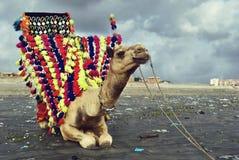 Camelo que senta-se na areia na praia do clifton, Karachi, Fotografia de Stock Royalty Free