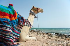 Camelo que senta-se na praia do Mar Vermelho Foto de Stock Royalty Free