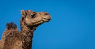 Camelo solitário imagens de stock
