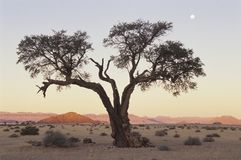 Camelo Thorn Tree no deserto de Namib imagem de stock royalty free