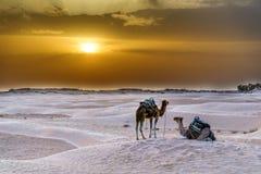 Camelo Tunísia Imagens de Stock