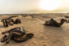 Camelo Tunísia Fotos de Stock Royalty Free