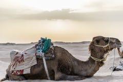 Camelo Tunísia Foto de Stock Royalty Free