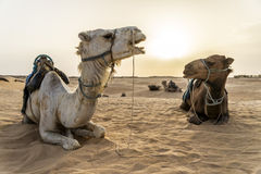 Camelo Tunísia Imagem de Stock
