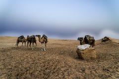 Camelo Tunísia Imagens de Stock Royalty Free