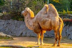 Camelo two-humped bactriano, bactrianus do Camelus Jardim zoológico de Liberec, República Checa imagem de stock royalty free