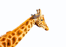 A camelopard Stock Image