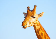 A Camelopard Royalty Free Stock Photography