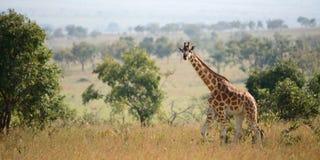 camelopardalis长颈鹿 库存照片