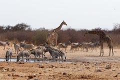 Camelopardalis и зебры Giraffa выпивая на waterhole Стоковые Изображения RF