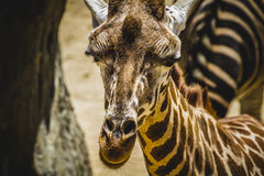 Camelopardalis, beautiful giraffe in a zoo park Royalty Free Stock Photos