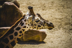 Camelopardalis, beautiful giraffe in a zoo park Stock Images