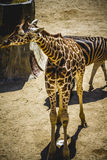 Camelopardalis, beautiful giraffe in a zoo park Royalty Free Stock Photography