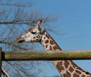 Camelopardalis camelopardalis Giraffa жирафа ` s Rothschild на зоопарке Честера, Чешире Стоковая Фотография RF