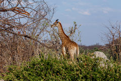 Camelopardalis de Giraffa en parc national, Hwankee Photos stock
