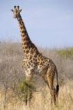 Camelopardalis de la jirafa Imagen de archivo libre de regalías
