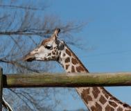 Camelopardalis de los camelopardalis del Giraffa de la jirafa del ` s de Rothschild en Chester Zoo, Cheshire Fotografía de archivo libre de regalías