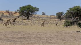 Camelopardalis del Giraffa en arbusto africano almacen de video