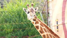 Camelopardalis del Giraffa, jirafa (4K) almacen de video