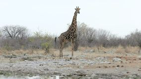 Camelopardalis del Giraffa que beben de waterhole almacen de metraje de vídeo
