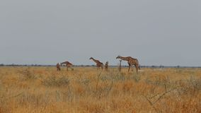 Camelopardalis del Giraffa que pastan almacen de video
