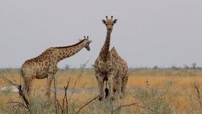 Camelopardalis del Giraffa que pastan almacen de metraje de vídeo