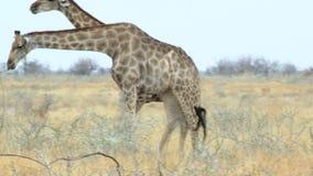 Camelopardalis del Giraffa que pastan el parque nacional de Etosha almacen de video
