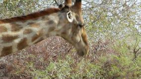 Camelopardalis del Giraffa que pastan en árbol almacen de metraje de vídeo