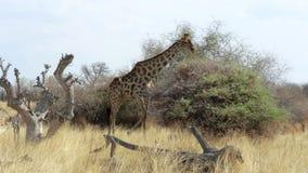 Camelopardalis del Giraffa que pastan en árbol metrajes