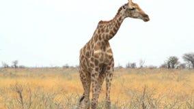 Camelopardalis del Giraffa que pastan en Etosha metrajes
