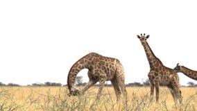Camelopardalis del Giraffa que pastan Etosha almacen de metraje de vídeo