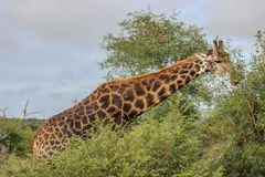 Camelopardalis do girafa Imagem de Stock Royalty Free