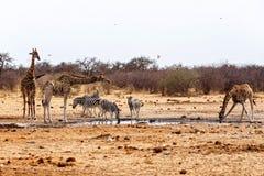 Camelopardalis e zebras do Giraffa que bebem no waterhole Fotos de Stock Royalty Free