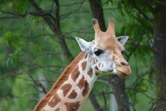 Camelopardalis Giraffa жирафа Стоковые Изображения