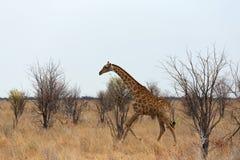 Camelopardalis Giraffa приближают к waterhole Стоковая Фотография RF