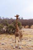 Camelopardalis Giraffa приближают к waterhole Стоковое Фото