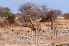 Camelopardalis Giraffa приближают к waterhole Стоковые Фото