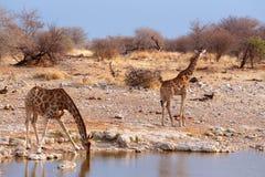 Camelopardalis Giraffa приближают к waterhole Стоковые Фотографии RF